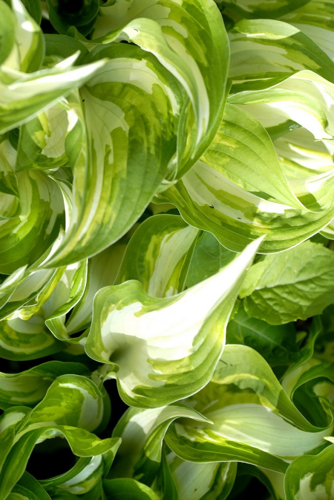 Hostas often overwhelm more delicate plants, but they are easy to divide and relocate.