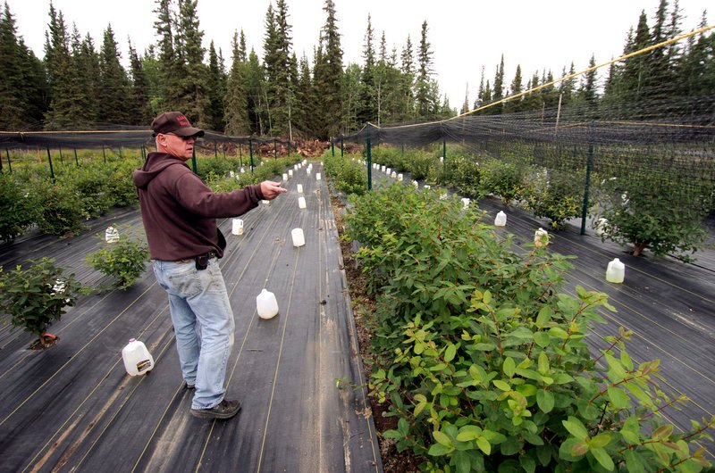 Brian Olson talks about the haskap berry bushes he is cultivating for commercial use on his farm near Kenai, Alaska.