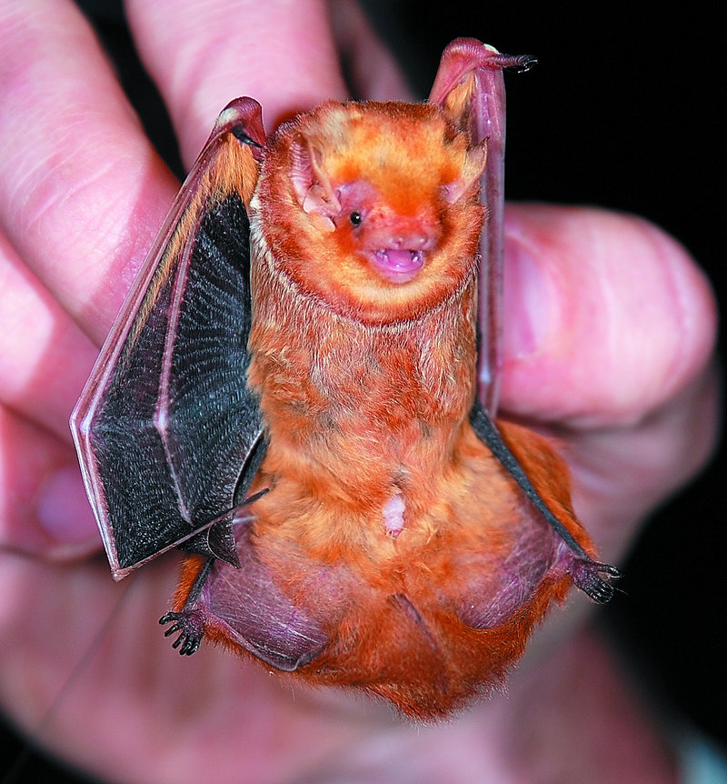 An eastern red bat weighs about the same as a 50-cent coin. When it hangs in trees, it looks like a dead leaf, says Zackary Hann.