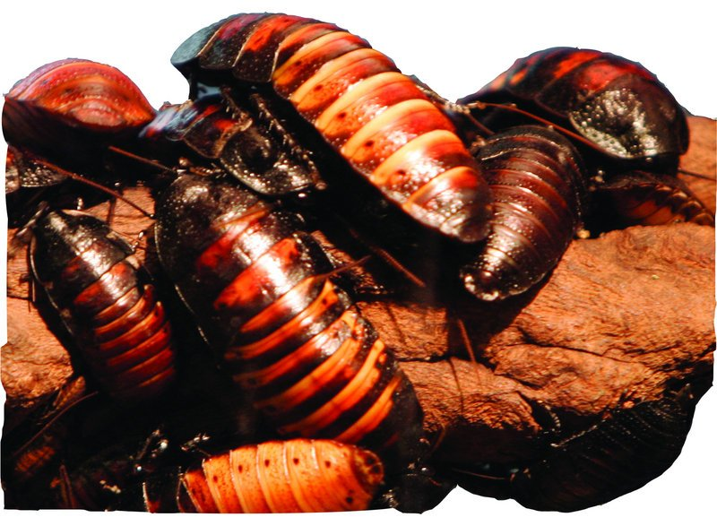 Researchers outfitted hissing cockroaches like these with electronic backpacks.