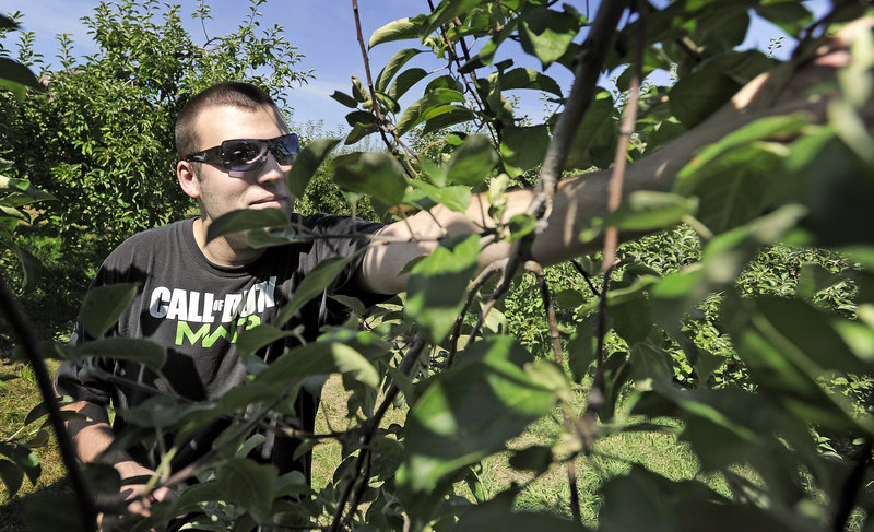 Sherman Perry of Gorham plucks a Cortland apple off a tree at Orchard Hill Farm in Cumberland on Thursday. Maine's crop is early this year and should be ready for picking by this weekend.