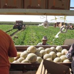Workers harvest cantaloupes near Firebaugh, Calif., on Wednesday. Sales have dropped because of a listeria outbreak, one of several food-illness outbreaks in the U.S. this year.