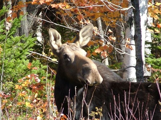 This beautiful moose was kind enough to pose for Heidi Reed of Waterboro.