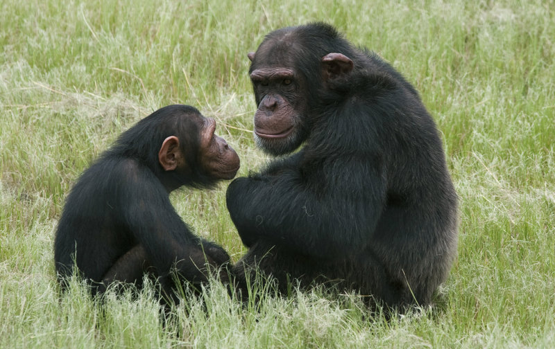 A similar pattern in great apes suggests humans' tendency toward midlife discontent may be a result of evolution.