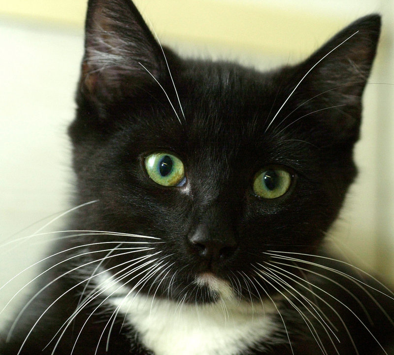 Adopting a cat from a shelter or rescue group is a good deal, because spaying or neutering and vaccinations usually are already done.