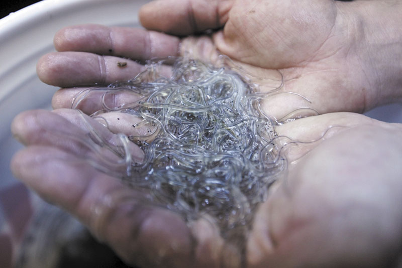 A handful of elvers are displayed by a buyer in Portland in April. A Maine man has been found guilty of illegal elver fishing. Elvers go for as much as $2,400 per pound, so the loss of his license will cost him dearly.