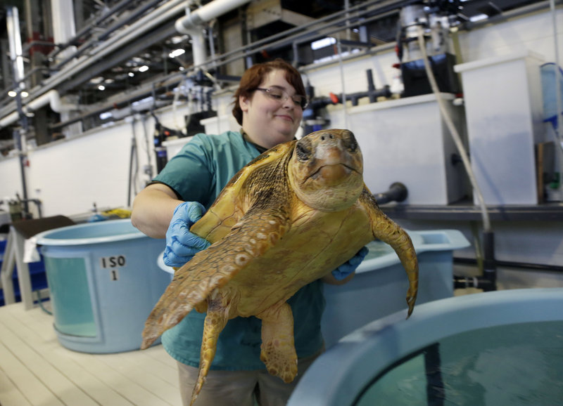 Volunteer Deirdre Witkowski lifts a 40-pound loggerhead turtle back into its pool at the New England Aquarium's Animal Care Center in Quincy, Mass. Sea turtle strandings in Cape Cod Bay are so common that the phenomenon has its own annual season and an established network of rescuers.