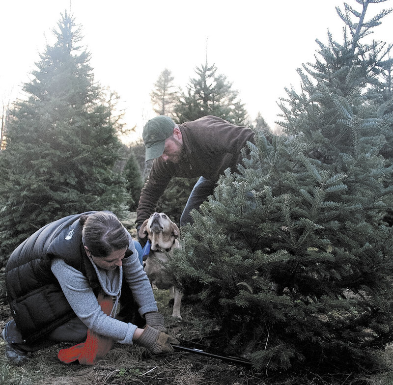 Ashley Hamilton-Ellis fells a 10-year-old balsam fir earlier this month at Bradbury's Christmas Trees in South China, with the help of her husband, Pat Ellis, and dog Gracie. The couple have been cutting their own trees at the farm for four years.