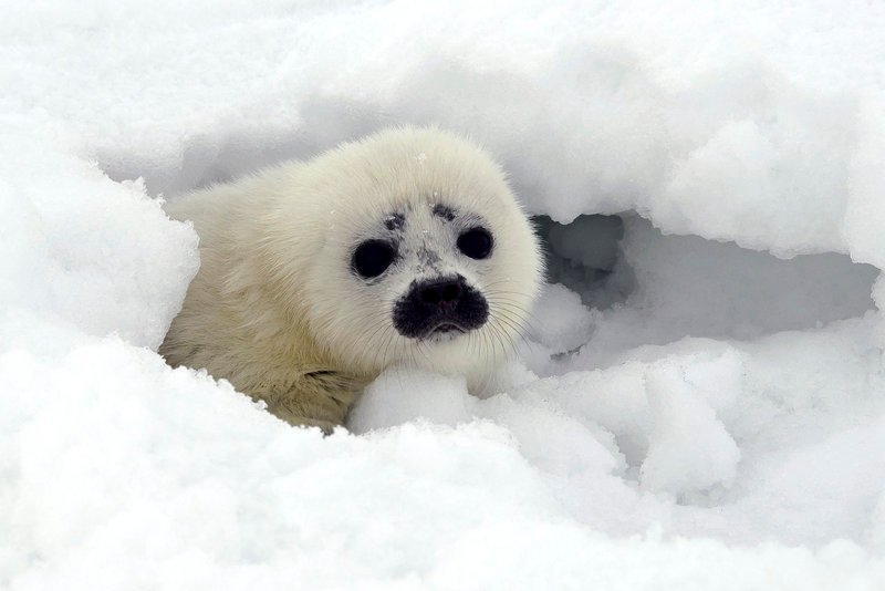 A ringed seal pup, above, peeks out from its protective snow cave near Kotzebue, Alaska, while a bearded seal, below, swims in the Tarpon River in Fort Lauderdale, Fla.