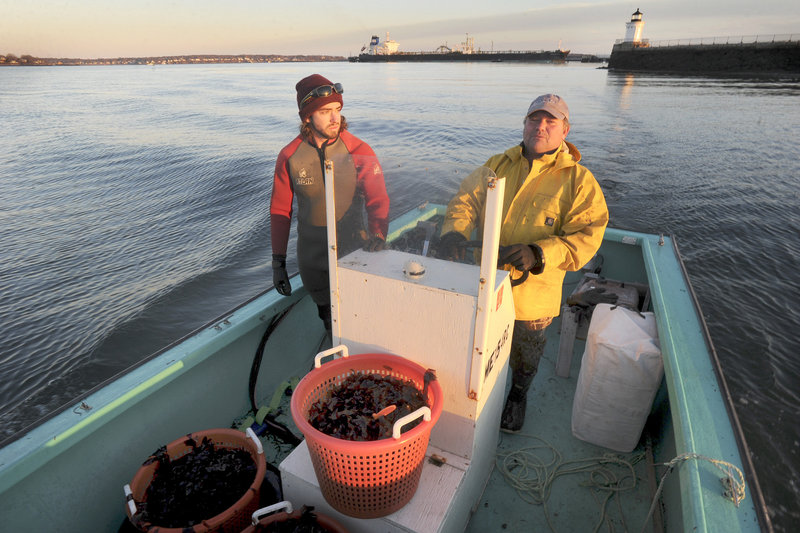Paul Tarkleson and Tom Roth of VitaminSea head home after collecting dulse during a low tide in Casco Bay.