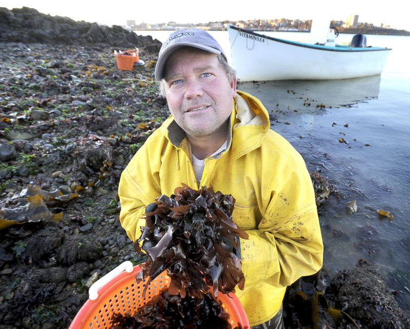 """VitaminSea co-owner Tom Roth collects dulse, a type of edible seaweed, during low tide on Casco Bay. Roth says his company comes up with ideas for new products by """"messing around"""" and seeing how things taste."""