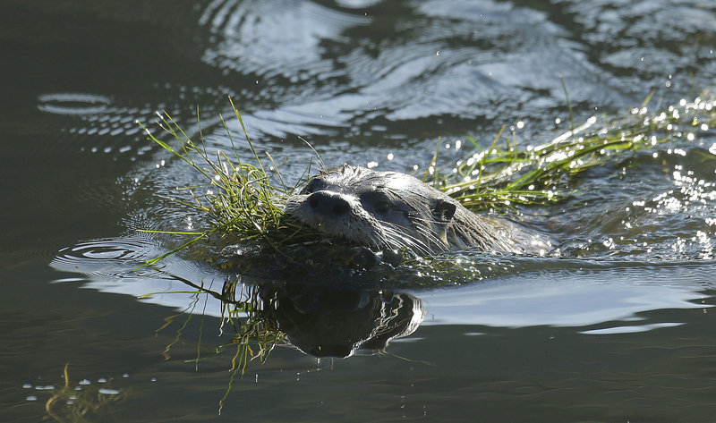 A river otter carries seaweed back to its nest Thursday in San Francisco. For the first time in decades, a river otter has made San Francisco its home in the ruins of the Sutro baths.