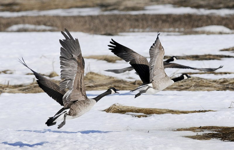 Canada geese seem to be staying south of the 44th parallel year-round, and they're a graceful sight over a winter meadow – although they're not much appreciated on golf courses and parks.