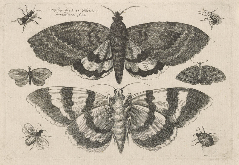 """Two Moths and Six Insects, from Muscarum, Scarabeorum,"" by Wenceslaus Hollar, Bohemian, 1646 etching."