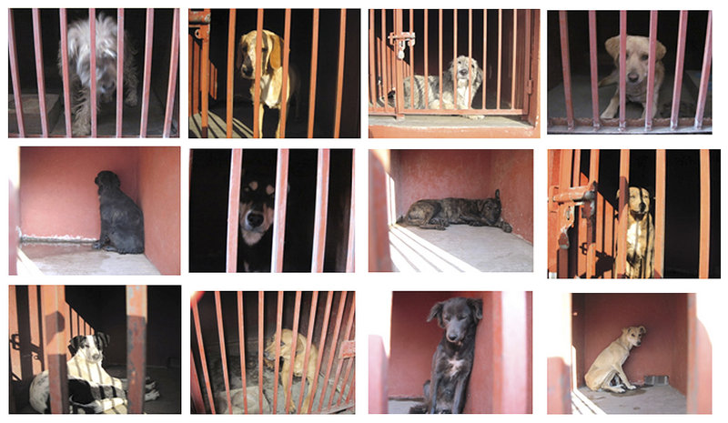 "Authorities posted photos of dogs captured near the scene of fatal maulings triggering an online protest about the dogs' innocence. Some called the dogs ""political prisoners."""