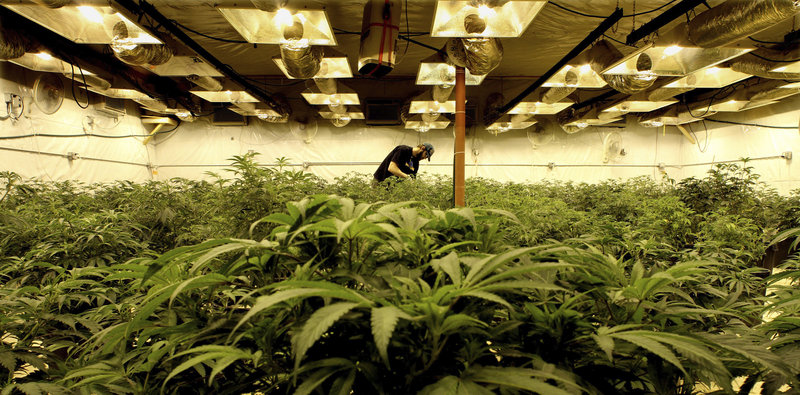 In a former bus barn near Denver, marijuana plants grow on camera, part of an intense security system that marks Colorado's medical-marijuana industry.
