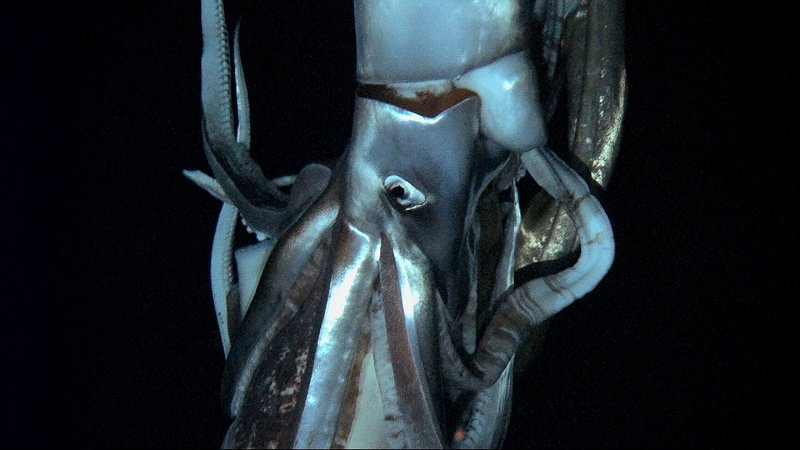 A giant squid swims in the Pacific Ocean off Chichi island, 600 miles south of Tokyo. One Japanese zoologist had spent a decade searching for the mysterious creature.