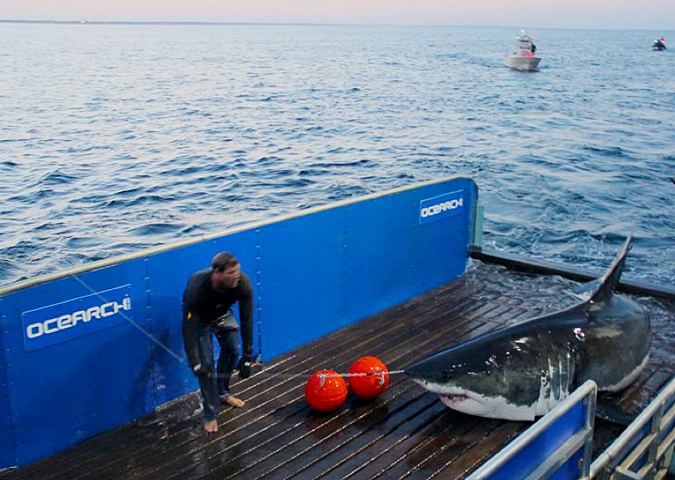 This photo provided by OCEARCH shows scientists tagging a great white shark off Cape Cod.