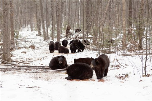 In this photo provided by Ben Kilham, some of the 27 orphaned black bears are seen inside his 8-acre forested enclosure in Lyme, N.H. Kilham typically cares for only three to five cubs each winter.
