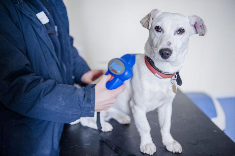 A Jack Russell terrier is scanned for a microchip at the Blue Cross Lewknor Rehoming Centre in London.