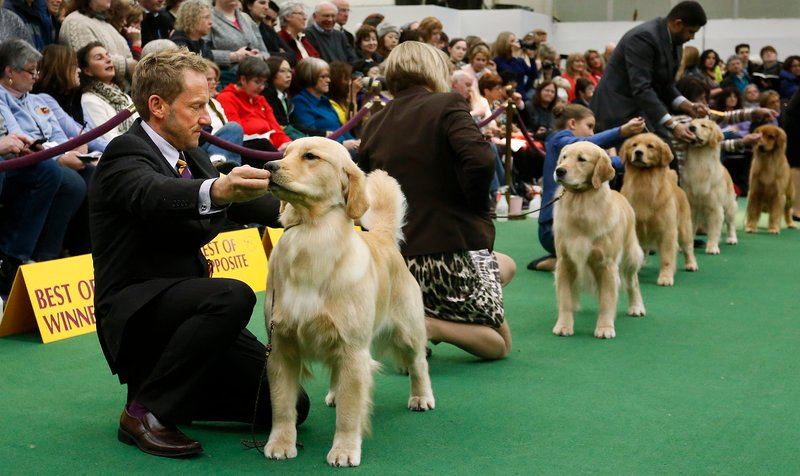Handler Graeme Burdon prepares Lush, a golden retriever owned by Jill Simmons of Falmouth, to compete in the best of breed competition at the 137th annual Westminster Kennel Club Dog Show at Pier 94 in New York City, New York, Tuesday, February 12, 2013.