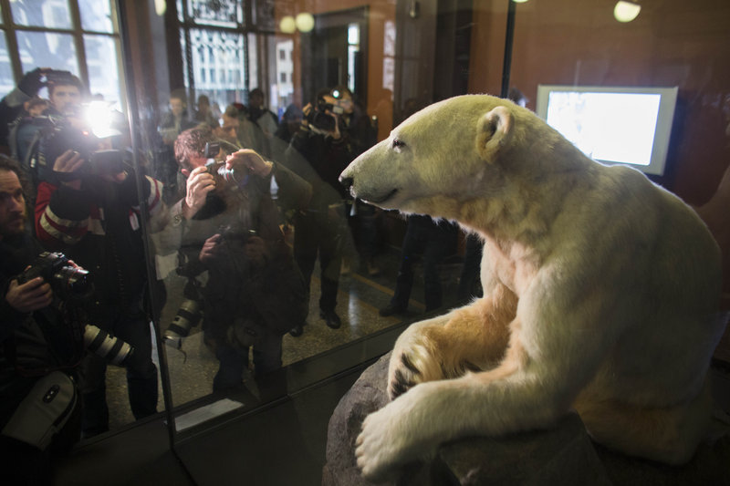 The late polar bear Knut is on display at the Natural History Museum in Berlin, Germany, on Friday.
