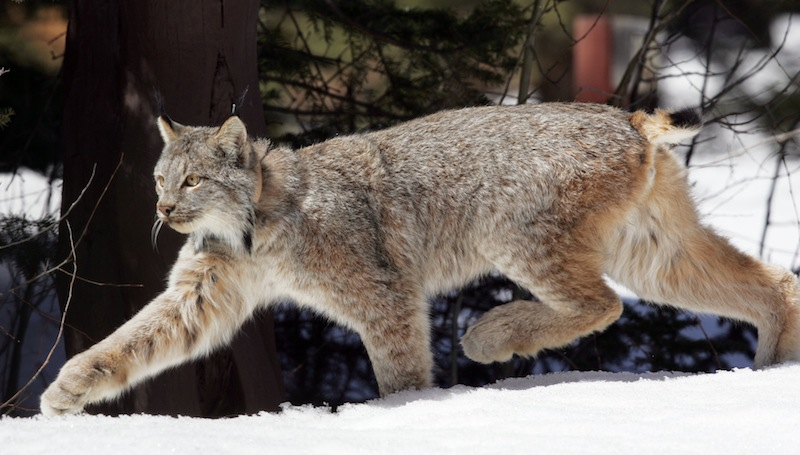 This April 2005 file photo shows a Canada lynx heading into the Rio Grande National Forest near Creede, Colo. Wildlife advocates have asked a federal court to force the government to come up with a recovery plan for Canada lynx 13 years after the snow-loving wild cats were declared a threatened species, according to a lawsuit filed Thursday March 14, 2013. (AP Photo/David Zalubowski, file)