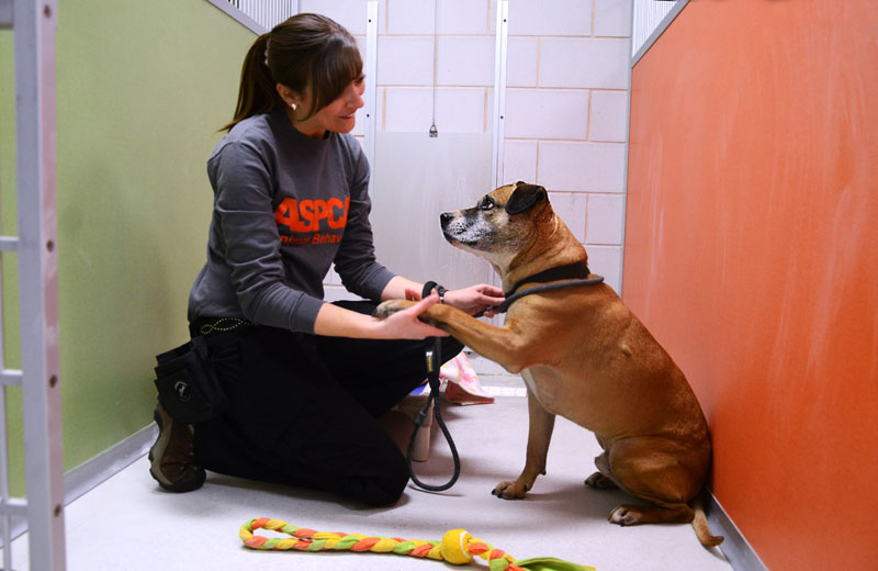 "This undated publicity photo provided by the ASPCA shows Musketeer, a 5-year-old shepherd-pit bull mix, with Pia Silvani, vice president of training and behavior for St. Hubert's, in one of the ""real rooms"" at the ASPCA Behavioral Rehabilitation Center in Madison, N.J. The rooms simulate a home environment for dogs."