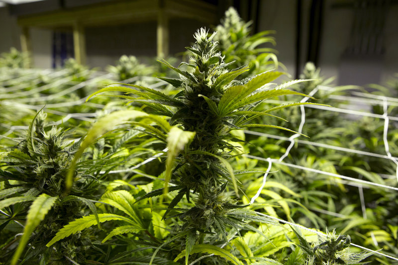 Marijuana plants are seen at a grow house in Colorado, where residents voted last fall to legalize marijuana for recreational use.