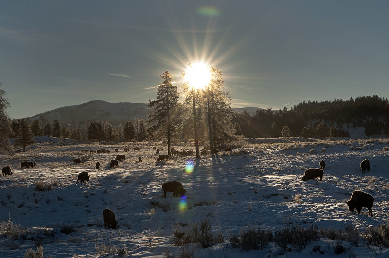 Bison graze in a meadow near Tower Junction in Yellowstone National Park, Mont. Faced with an order from Washington to slice $1.8 million from his budget, park Superintendent Dan Wenk finds his decisions being second-guessed.