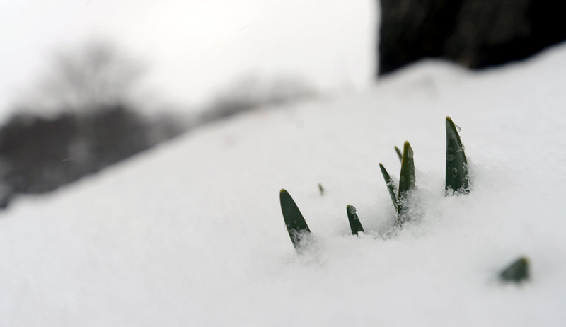 Daffodils beginning to sprout are buried by snow at Laurel Hill Cementery in Saco on Tuesday, March 19, 2013. Last year at this time many daffodils were in bloom at the cemetery.
