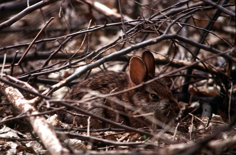 The cottontail does not live on cuteness alone, but its appeal in that area brings much sympathy to the little critter that needs low-brush cover to thrive.