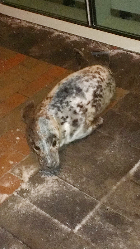 The young gray seal that was found on the doorstep of Mercy Hospital in Portland early Friday morning.