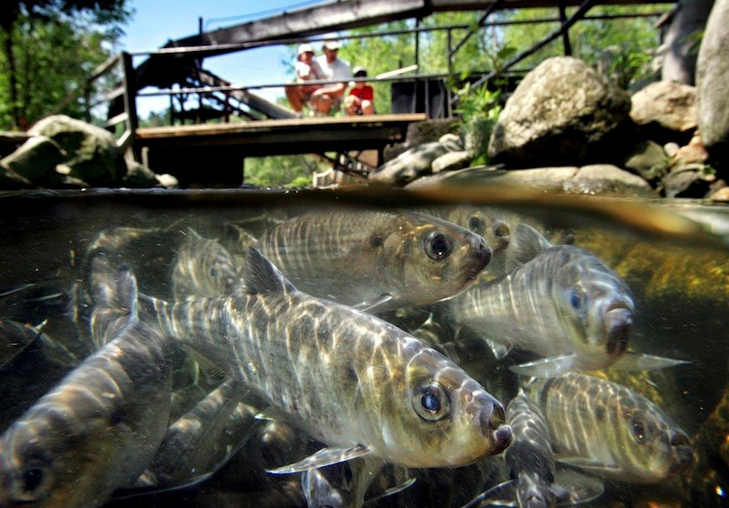 In this June 4, 2005 file photo, alewives congregate in the Damariscotta Mills fishway, in Nobleboro, Maine. An 18-year-old blockade on the St. Croix River will be lifted in a few days. (AP Photo/Robert F. Bukaty)