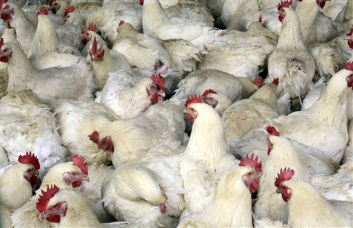 An April 3, 2013, photo of chickens at a chicken farm on the outskirts of Shanghai, China.