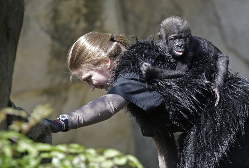 Ashley Chance carries a 3-month-old western lowland gorilla named Gladys Stones in the outdoor gorilla exhibit at the Cincinnati Zoo for her first time out on Tuesday.