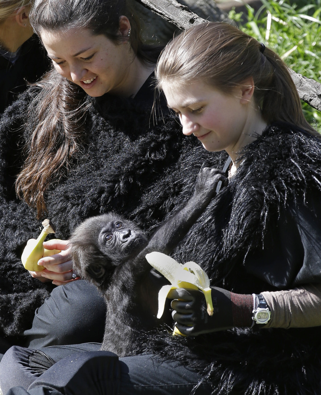 Ashley Chance holds a banana for a 3-month-old western lowland gorilla named Gladys Stones in the outdoor gorilla exhibit at the Cincinnati Zoo on Tuesday.