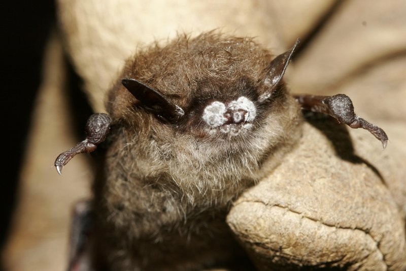 In this 2008 photo provided by the New York Department of Environmental Conservation shows a brown bat with white nose fungus. The fungal infection has killed more than 5.5 million bats in eastern North America since it was first detected in upstate New York in 2006.