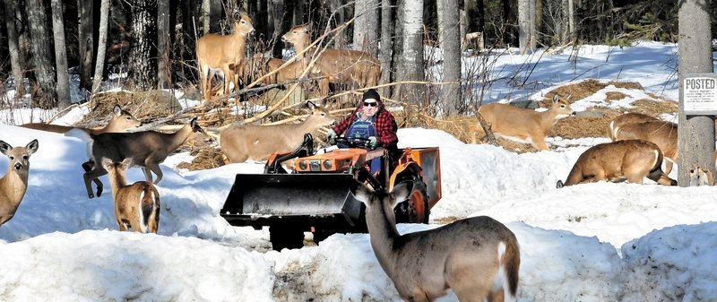 Basil Powers spreads corn from his tractor for the deer that show up daily at his farm in Coplin Plantation.