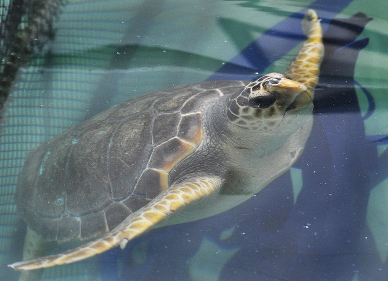 One of the five loggerhead sea turtles that will be returned to northern Florida for release after a rehab stay at UNE's Marine Animal Rehabilitation Center over the winter.