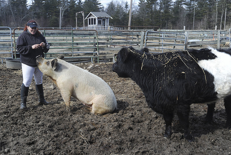 Deborah Devlin feeds Lulu the pig a treat while Baby, a blind cow, stands by at a farm for animals that have been neglected or have special needs, in Dartmouth, Mass.