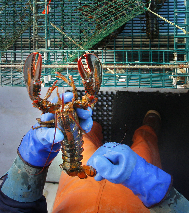 "A Long Island lobsterman checks a lobster's tail in 2008 to make sure it's a keeper. If the state spends more on marketing lobster, ""the worst-case scenario is that we could lose 1 percent of our gross, while standing to gain much more than that in return,"" according to a lobsterman from Matinicus."