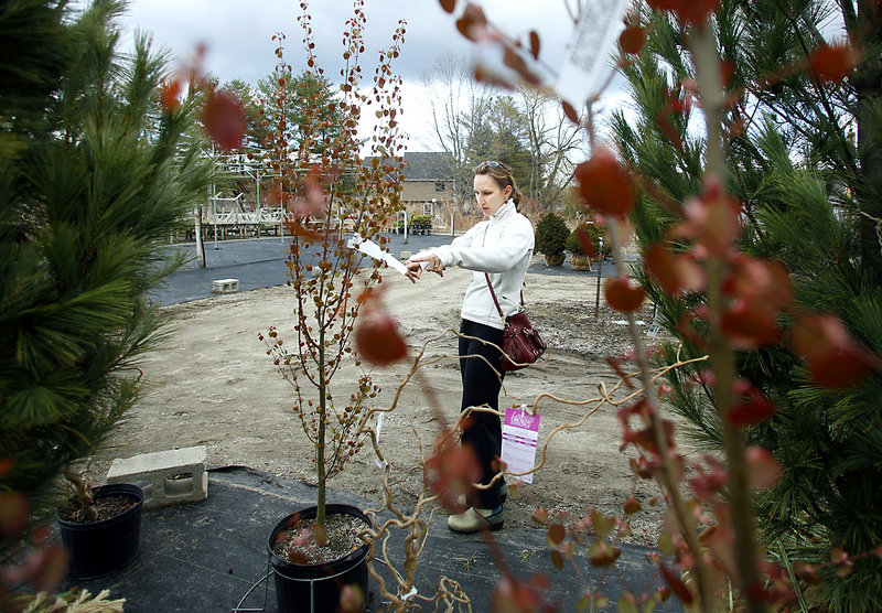 Holly Lusk of Harpswell is seen through the leaves of a katsura tree as she shops for trees and shrubs at Estabrook's in Yarmouth on Sunday.