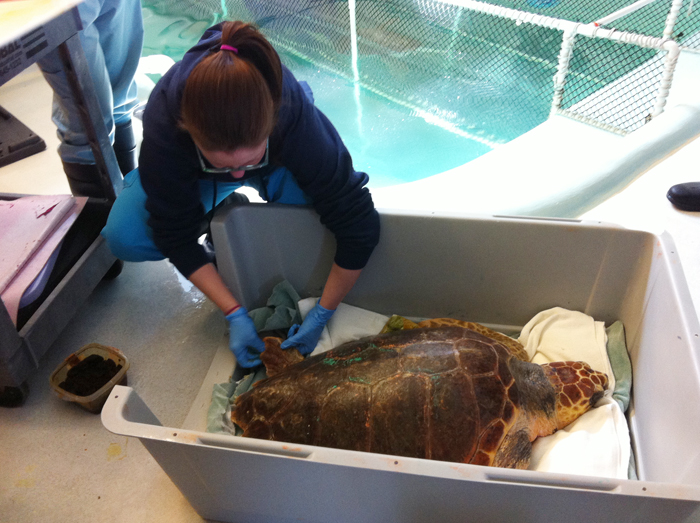 Sarah Lucchese, a senior animal care technician, takes a biopsy from the flipper of a loggerhead turtle at the University of New England's Marine Animal Rehabilitation Center. Five turtles at the center will leave this week for Florida, where they will be released into the ocean. All five were stranded on Cape Cod.