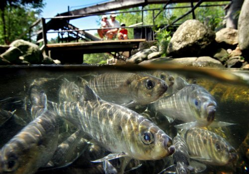 n this June 4, 2005 file photo, alewives congregate in the Damariscotta Mills fishway, in Nobleboro, Maine. An 18-year-old blockade on the St. Croix River has been lifted, allowing the fish to run upriver. (AP Photo/Robert F. Bukaty)