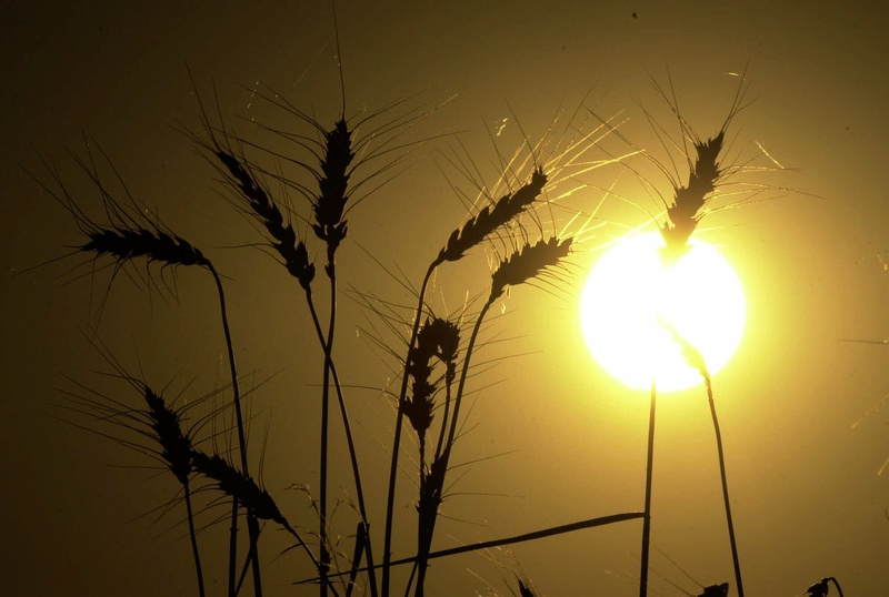 Heads of wheat stand against the setting sun in a harvested wheat field north of Salina, Kan.