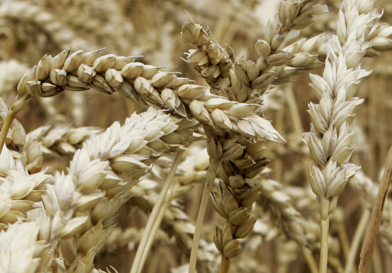 Japan has supended U.S. wheat imports after a genetically modified strain was found growing in an Oregon field.