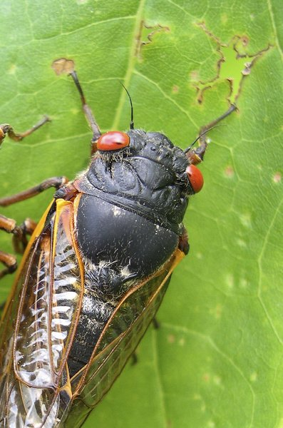 Any day now, cicadas with bulging red eyes will creep out of the ground after 17 years and overrun the East Coast with the awesome power of numbers. Big numbers. Billions. Maybe even a trillion. For a few buggy weeks, residents from North Carolina to Connecticut will be outnumbered by 600 to 1.