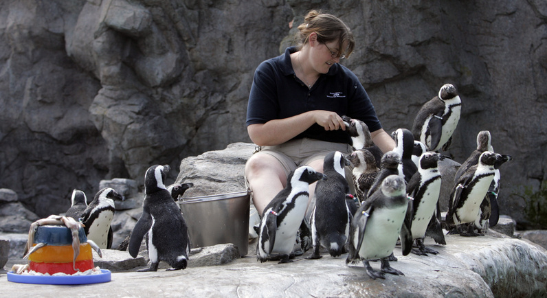 Erin Lovin feeds African black-footed penguins at the Mystic Aquarium Institute for Exploration in Mystic, Conn.