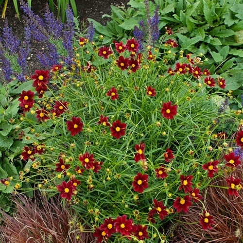 "Coreopsis ""Mercury Rising"" is hardy to Zone 5, which includes southern and parts of central Maine, and blooms all summer, according to Jim Masse, nursery manager for Estabrooks in Yarmouth."
